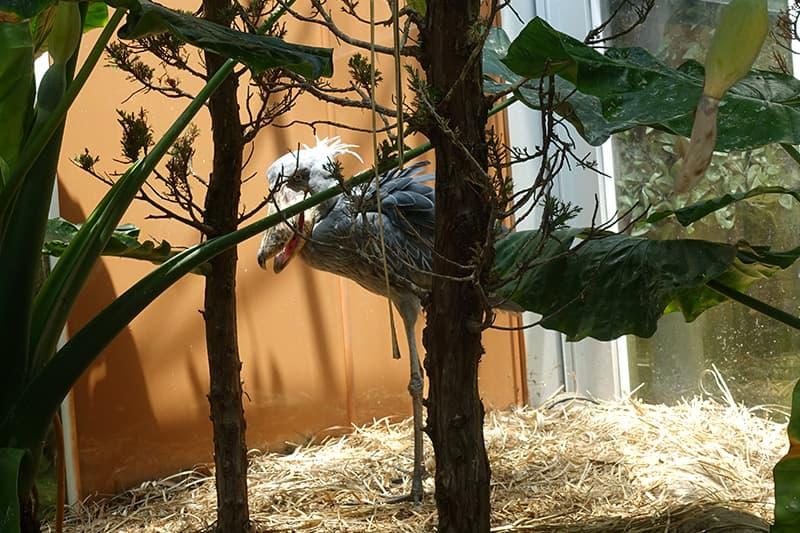 神戸どうぶつ王国のハシビロコウ