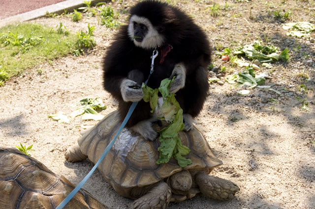 福知山動物園のシロテナガザル