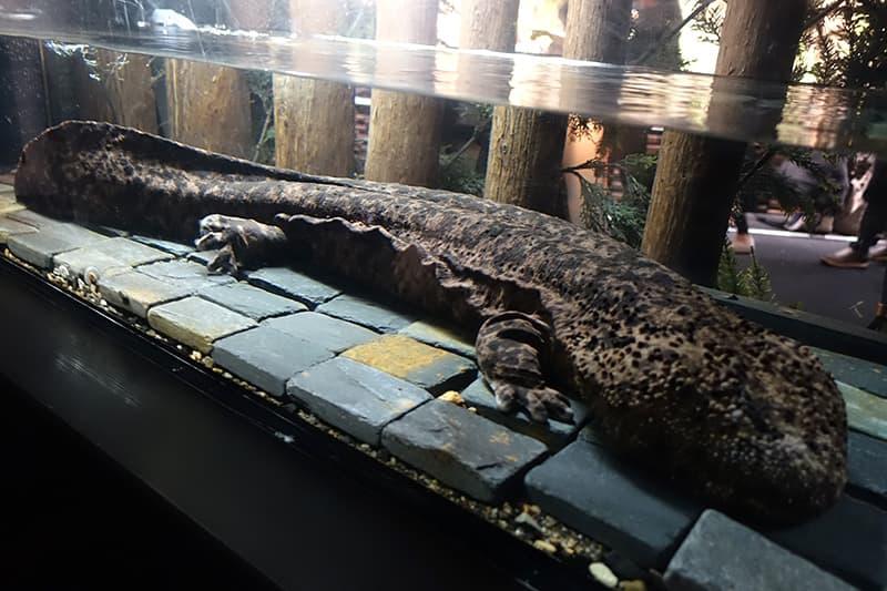 京都水族館のオオサンショウウオ