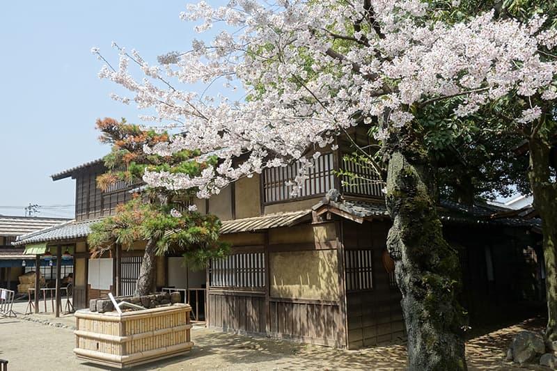 東映太秦映画村の桜